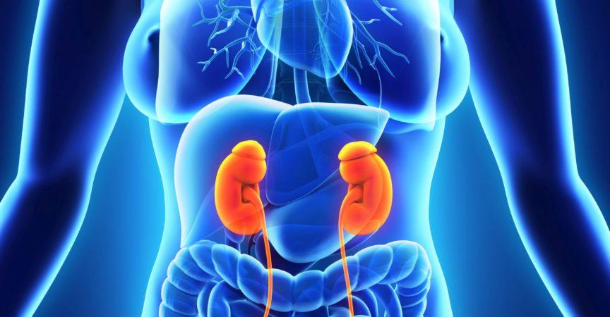 Anatomie der menschlichen weiblichen Niere. 3D-Rendering
