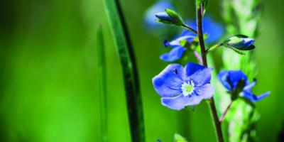Blühende Veronica Officinalis Blume. Geringe Schärfentiefe.