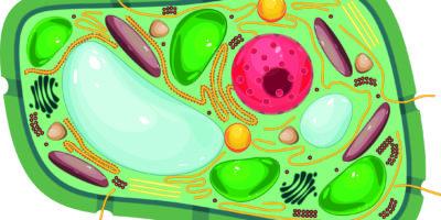 Struktur von Pflanzenzellen mit verschiedenen Organellen
