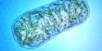 Mitochondrien - Mikrobiologie, 3D-Illustration der zellulären Organelle