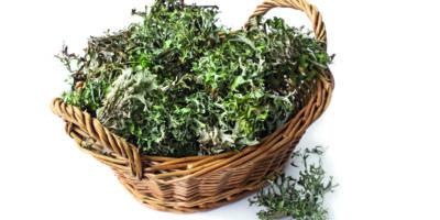 Alternative pflanzliche Medizin. Pflanzenmoos Cetraria islandica auf einem weißen Hintergrund