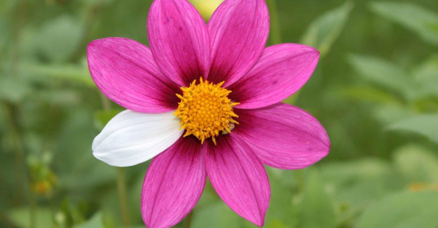 Blumenmutante