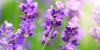 Nahaufnahme von violettem Lavendel