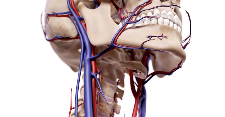 medizinisch genaue Darstellung der Blutgefäße des Kopfes