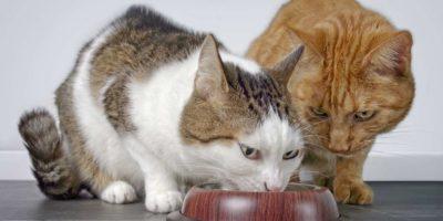 Nahaufnahme von zwei niedlichen Katzen, die zusammen Katzenfutter essen.