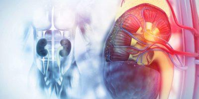 Menschlicher Nierenquerschnitt auf wissenschaftlichem Hintergrund