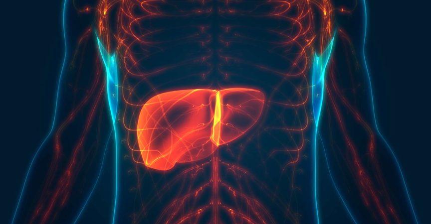 3D-Illustrationskonzept der Leberanatomie des menschlichen inneren Verdauungsorgans