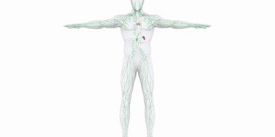 Illustration des menschlichen Lymphsystems. 3D-Rendering