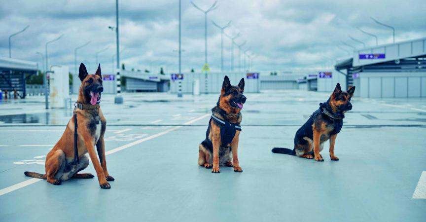 Malinois-Hund und zwei deutsche Schäferhunde, die auf dem Boden im Flugplatz unter bewölktem Himmel sitzen