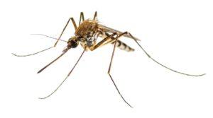 Enzephalitis, Gelbfieber, Malariakrankheit oder mit dem Zika-Virus infiziertes Culex-Moskito-Parasiten-Insekten-Makro, isoliert auf weißem Hintergrund