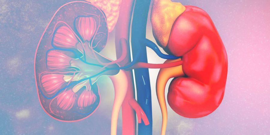 Anatomie des menschlichen Nierenquerschnitts. 3D-Rendering