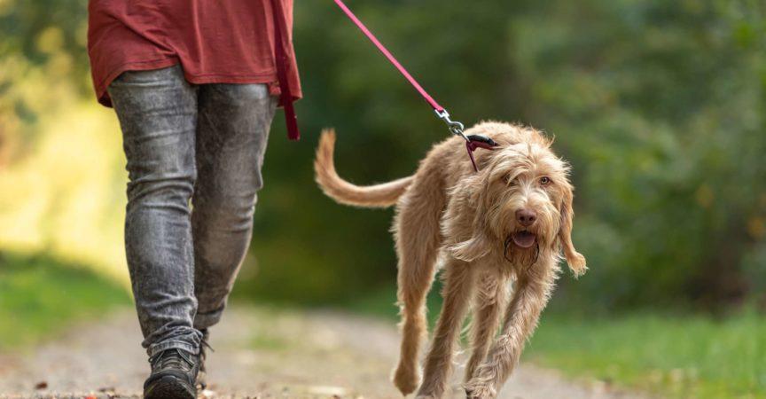 Junger Magyar Vizsla Hund. weibliche Hundeführerin geht mit Hund auf der Straße in einem Wald spazieren. Großer Hund zieht an der Leine
