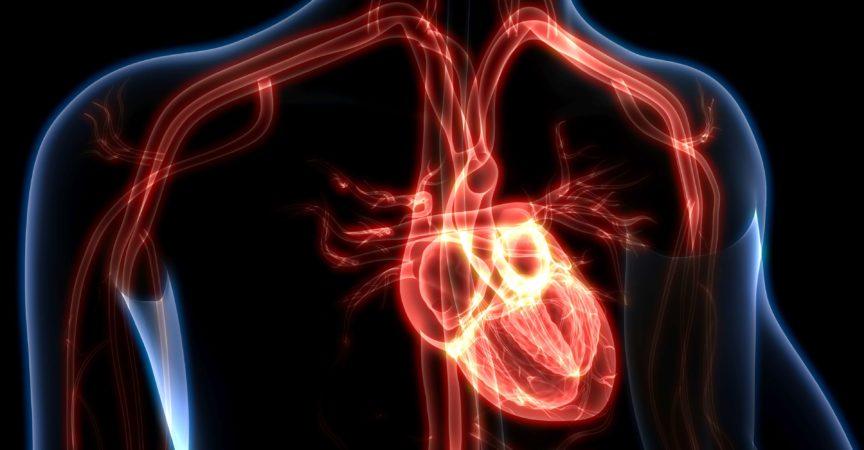 3D-Darstellung der Anatomie des menschlichen Herzens