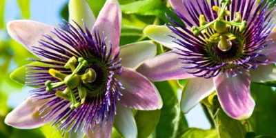 Passionsblume Passiflora hautnah