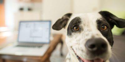 Ein Hund, der in einem Wohnzimmer mit einem Laptop auf dem Tisch im Hintergrund in die Kamera schaut table