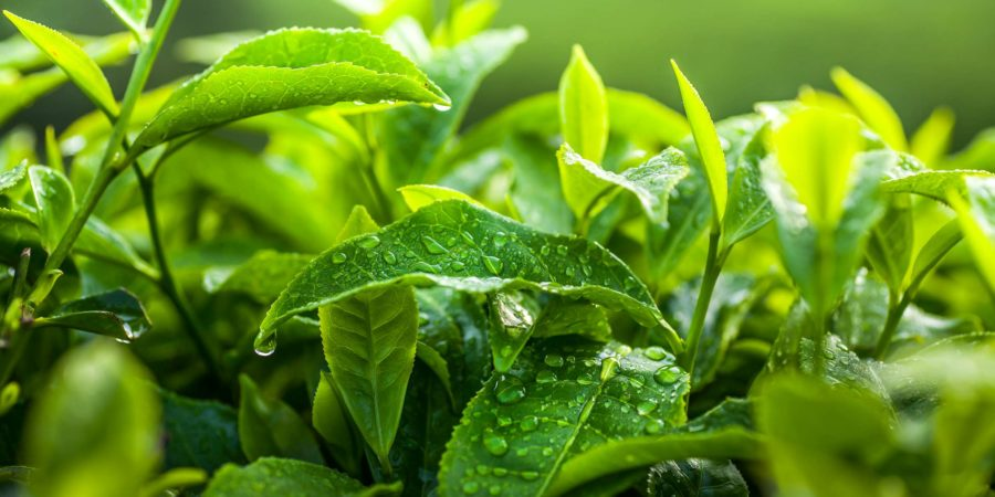 Schönes grünes Teeblatt mit Wasser in der Teeplantage. Frisches Teeblattkonzept.