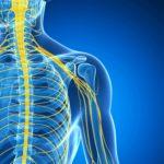 3D gerenderte Darstellung des männlichen Nervensystems