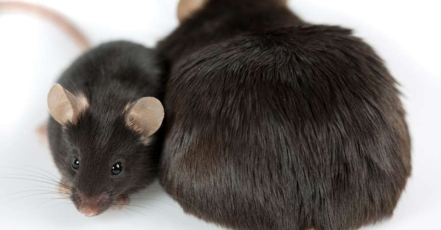 durch Junk Food induzierte fettleibige Maus im Vergleich zu normaler Kontrolle