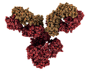 Immunglobulin G1: monoklonaler Antikörper