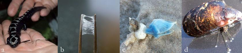 a): Der Marmor-Querzahnmolch sondert klebrigen Schleim ab. b): Salamander-Klebstoff könnte sich als Wundkleber eignen. c): Bojenbildende Entenmuschel mit zementartigem Schaumfloß. d): Die Klebefäden der Miesmuschel haften sogar auf Teflon.