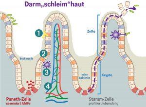 Die 4 Barrieren der Darm«schleim»haut im Dünndarm 1 Die Mukusschicht (auf der sich ein Biofilm aus Mikroorganismen ausbreitet) 2 Die aus einer Zelllage bestehende Schicht der aus Stammzellen differenzierten Enterozyten, Becherzellen, Paneth-Zellen, Enteroendokrinen Zellen 3 Die vielen verschiedenen mobilen (!) Zellen des Immunsystems (T-Zellen, dendritische Zellen, ...) 4 Die Darm-Gefäss-Barriere In den Krypten teilen sich die Stammzellen, die entstandenen Tochterzellen wandern bis zur Zottenspitze, wo sie absterben, ins Darmlumen abgeschilfert und ausgeschieden werden. Dieser Weg dauert etwa eine Woche, dabei differenzieren sich die Zellen. Dann ist die Oberfläche des Darmrohrs erneuert. Die Krypten sind bei Gesunden frei von Bakterien, hier sezernieren die Paneth-Zellen AMPs (Antimikrobielle Peptide), die wie körpereigene Antibiotika wirken.