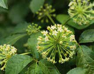 Helfer im Advent: Der sibirische Ginseng erhöht die Stresstoleranz.