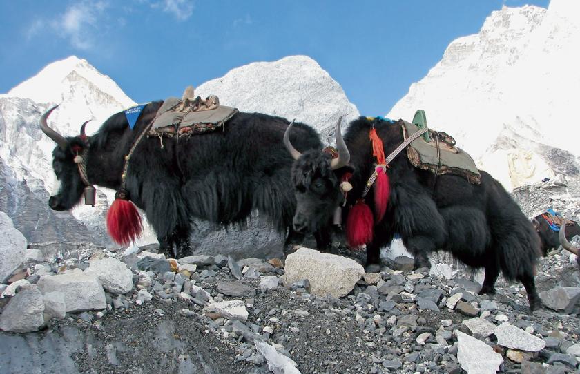 Yaks transportierten die Ausrüstung und die Geräte ins Hochgebirge.