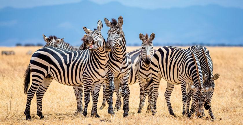 Hinter Hufgetrappel stecken zwar meist Pferde, gar nicht so selten aber auch Zebras.
