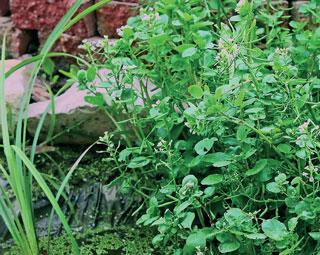 Brunnenkresse gilt in der Volksmedizin als natürliches Antibiotikum.