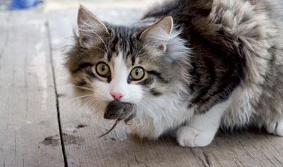 Mit Toxoplasma infizierte Mäuse verlieren die Angst vor Katzen und werden gefressen. Das gilt auch, wenn die akute Infektion schon abgeheilt ist.