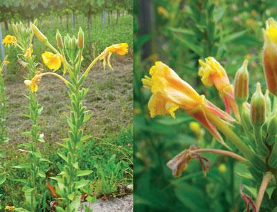 Die Nachtkerze passt sich auch gut an karge Böden an und sie kann befruchtungslos Samen bilden. Deren Öl ist ein wahrer Jungbrunnen!