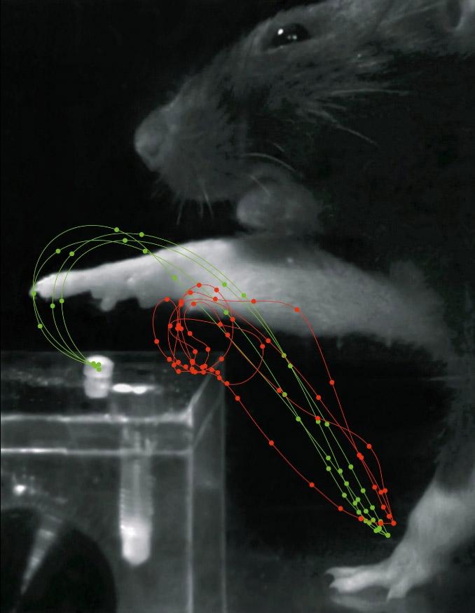 Eine Ratte, die nach einem Zuckerstück greift. Die roten Trajektorien zeigen die Bewegungen nach einem Schlaganfall, wobei die Punkte die Position der Pfote nach festen Zeitintervallen darstellen. Aufgrund einer Schädigung des motorischen Cortex ist die Ratte nicht in der Lage, ihren Arm koordiniert zu bewegen, und verfehlt das Ziel. Nach der Rehabilitation (grüne Trajektorien) sind die Greifbewegungen dann wiederhergestellt und zielgerichtet.