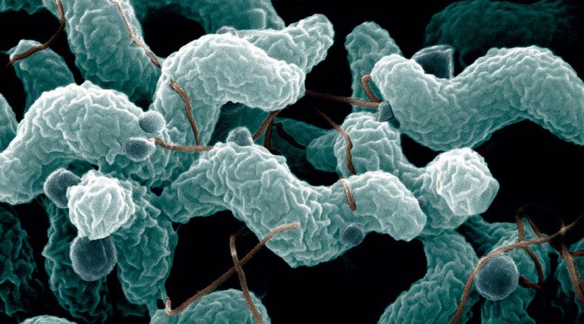 Die Campylobacteriose ist die häufigste Zoonose in Österreich. Rund 90 Prozent der Fälle werden durch Campylobacter jejuni verursacht.